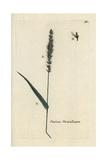 "Hooked Bristle Grass, Setaria Verticillata, From Bulliard's ""Flora Parisiensis,"" 1776, Paris Giclee Print by Pierre Bulliard"