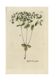 "Petty Spurge, Euphorbia Peplus, From Pierre Bulliard's ""Flora Parisiensis,"" 1776, Paris Giclee Print by Pierre Bulliard"