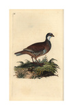 Red-legged Partridge From Edward Donovan's Natural History of British Birds, London, 1809 Giclee Print by Edward Donovan