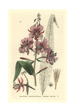 French Willow, Epilobium Angustifolium, From William Baxter's British Phaenogamous Botany, 1834 Giclee Print by Isaac Russell