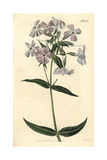 Flesh-coloured Phlox, Phlox Carnea Giclee Print by John Curtis