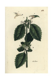 "Lemon Balm, Melissa Officinalis, From Pierre Bulliard's ""Flora Parisiensis,"" 1776, Paris Giclee Print by Pierre Bulliard"