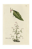 "Water Pepper, Polygonum Hydropiper, From Pierre Bulliard's ""Flora Parisiensis,"" 1776, Paris Giclee Print by Pierre Bulliard"