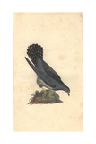 Common Cuckoo From Edward Donovan's Natural History of British Birds, 1799 Reproduction procédé giclée par Edward Donovan
