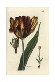 "Garden Tulip, Tulipa Gesneriana, From Pierre Bulliard's ""Flora Parisiensis,"" 1776, Paris Giclee Print by Pierre Bulliard"