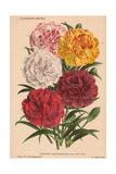 Various Carnations Or Pinks Giclee Print