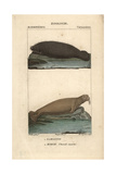 Walrus And Manatee From Frederic Cuvier's Dictionary of Natural Science: Mammals, Paris, 1816 Giclee Print
