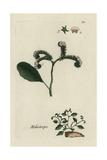"European Heliotrope, Heliotropium Europaeum, From Bulliard's ""Flora Parisiensis,"" 1776, Paris Giclee Print by Pierre Bulliard"