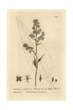 Broad Leaved Pepperwort, Lepidium Latifolium, From W. Baxter's British Phaenogamous Botany, 1834 Giclee Print by Isaac Russell