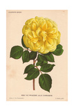 Yellow Hybrid Rose Giclee Print