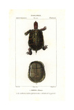 Box Turtle, Emyde Close, Terrapene Carolina. Near Threatened Giclee Print by Jean Gabriel Pretre