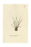 "Bog Bulrush, Scirpus Mucronatus, From Pierre Bulliard's ""Flora Parisiensis,"" 1776, Paris Giclee Print by Pierre Bulliard"
