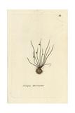 "Bog Bulrush, Scirpus Mucronatus, From Pierre Bulliard's ""Flora Parisiensis,"" 1776, Paris Giclee Print by Pierre Bulliard"