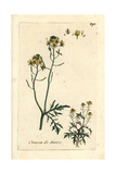 "Fool's Watercress, Apium Nodiflorum, From Pierre Bulliard's ""Flora Parisiensis,"" 1776, Paris Giclee Print by Pierre Bulliard"