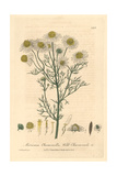 Wild Chamomile, Matricaria Chamomilla, From William Baxter's British Phaenogamous Botany, 1839 Giclee Print by Charles Mathews