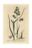 Cock's Foot Grass, Dactylis Glomerata, From William Baxter's British Phaenogamous Botany, 1834 Giclee Print by Charles Mathews
