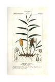 Ginger, Zingiber Officinale Giclee Print by Pierre J-F Turpin