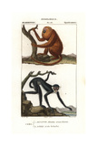 Red Howler Monkey, Alouatta Seniculus, And White-fronted Spider Monkey, Ateles Belzebuth Giclee Print by Jean Gabriel Pretre