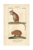 Potoroo And Wombat From Frederic Cuvier's Dictionary of Natural Science: Mammals, Paris, 1816 Giclee Print