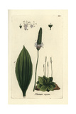 "Hoary Plantain, Plantago Media, From Pierre Bulliard's ""Flora Parisiensis,"" 1776, Paris Giclee Print by Pierre Bulliard"