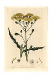 Umbelled Hawkweed, Hieracium Umbellatum, From William Baxter's British Phaenogamous Botany, 1835 Giclée-Druck von Isaac Russell