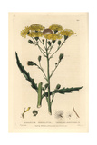 Umbelled Hawkweed, Hieracium Umbellatum, From William Baxter's British Phaenogamous Botany, 1835 Giclee Print by Isaac Russell