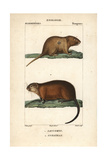 Pocket Mouse And Muskrat From Frederic Cuvier's Dictionary of Natural Science: Mammals Giclee Print