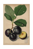 Plum Cultivar, Monarch, Prunus Domestica Giclee Print by Walter Hood Fitch
