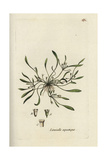 "Water Mudwort, Limosella Aquatica, From Pierre Bulliard's ""Flora Parisiensis,"" 1776, Paris Giclee Print by Pierre Bulliard"