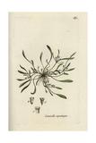 "Water Mudwort, Limosella Aquatica, From Pierre Bulliard's ""Flora Parisiensis,"" 1776, Paris Giclee Print by Pierre Bulliard"