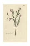 "Cross-leaved Heath, Erica Tetralix, From Pierre Bulliard's ""Flora Parisiensis,"" 1776, Paris Giclee Print by Pierre Bulliard"