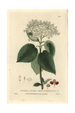 Mealy Guelder Rose, Viburnum Lantana, From William Baxter's British Phaenogamous Botany, 1835 Giclee Print by Isaac Russell