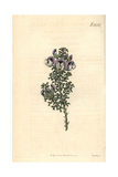 Prickly Psoralea, Psoralea Aculeata Giclee Print by John Curtis