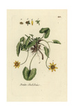 "Lesser Celandine, Ranunculus Ficaria, From Pierre Bulliard's ""Flora Parisiensis,"" 1776, Paris Giclee Print by Pierre Bulliard"