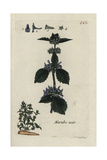 "Black Horehound, Ballota Nigra, From Pierre Bulliard's ""Flora Parisiensis,"" 1776, Paris Giclee Print by Pierre Bulliard"