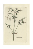 "Nottingham Catchfly, Silene Nutans, From Pierre Bulliard's ""Flora Parisiensis,"" 1776, Paris Giclee Print by Pierre Bulliard"