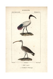 Sacred Ibis And Curlew From Sainte-Croix's Dictionary of Natural Science: Ornithology Reproduction procédé giclée