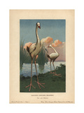 Leguat's Giant, Leguatia Gigantea, Extinct Type of Giant Rail Giclee Print by F. John