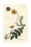 "Silverweed, Potentilla Anserina, From Pierre Bulliard's ""Flora Parisiensis,"" 1776, Paris Giclee Print by Pierre Bulliard"