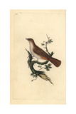 Nightingale From Edward Donovan's Natural History of British Birds, London, 1799 Giclee Print by Edward Donovan