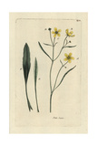 "Spearwort, Ranunculus Flammula, From Pierre Bulliard's ""Flora Parisiensis,"" 1776, Paris Giclee Print by Pierre Bulliard"