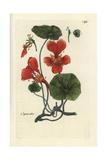 "Garden Nasturtium, Tropaeolum Majus, From Pierre Bulliard's ""Flora Parisiensis,"" 1776, Paris Giclee Print by Pierre Bulliard"