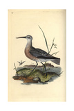 Little Curlew From Edward Donovan's Natural History of British Birds, London, 1816 Giclee Print by Edward Donovan