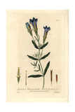Marsh Gentian, Gentiana Pneumonanthe, From William Baxter's British Phaenogamous Botany, 1836 Giclee Print by Isaac Russell