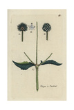"Small Teasel, Dipsacus Pilosus, From Pierre Bulliard's ""Flora Parisiensis,"" 1776, Paris Giclee Print by Pierre Bulliard"