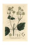 Common Traveler's Joy, Clematis Vitalba, From William Baxter's British Phaenogamous Botany, 1835 Giclee Print by Isaac Russell