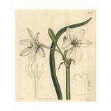 Macquarie Crinum, Crinum Flaccidum Giclee Print by John Curtis