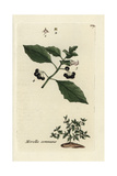 "Black Nightshade, Solanum Nigrum, From Pierre Bulliard's ""Flora Parisiensis,"" 1776, Paris Giclee Print by Pierre Bulliard"