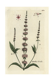 "Spearmint, Mentha Spicata, From Pierre Bulliard's ""Flora Parisiensis,"" 1776, Paris Giclée-Druck von Pierre Bulliard"