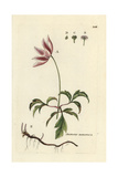 "Wood Anemone, Anemone Nemorosa, From Pierre Bulliard's ""Flora Parisiensis,"" 1776, Paris Giclee Print by Pierre Bulliard"